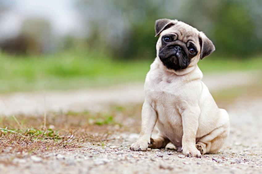 Мопсы - собаки, которые станут настоящими друзьями для всех членов семьи, фото-1